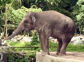 An asian elephant reaching out to the edge of the zoo enclosure. poster
