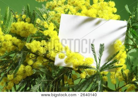 Mimosa Flowers With Blank Card On Green Background