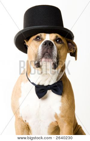 Beautiful american staffordshire terrier dressed like a groom poster