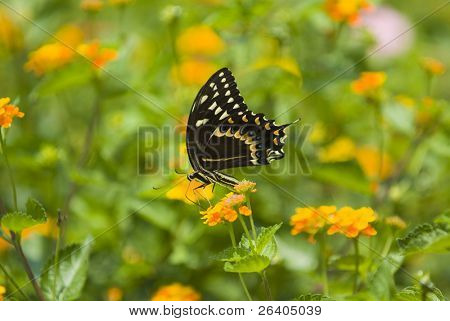 Swallowtail butterfly on yellow flower