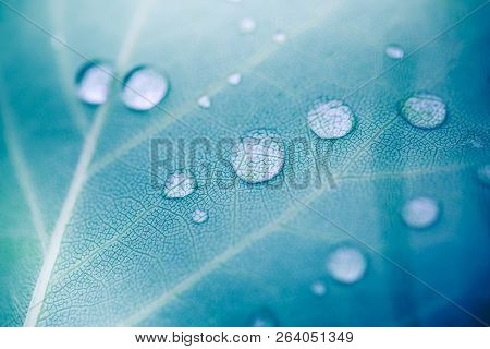Large Beautiful Drops Of Transparent Rain Water On A Green Leaf Macro. Drops Of Dew In The Morning G