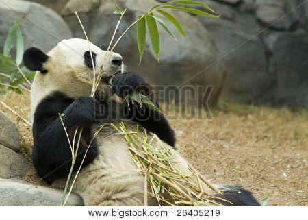 Panda relaxing and eating fresh bamboo