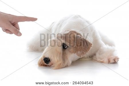 female sealyham terrier puppy being trained to stay isolated on white background
