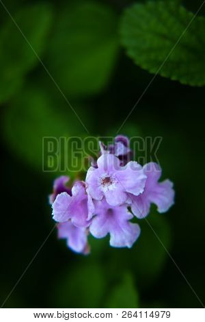 In The Garden, The Delicate Purple Flowers Bloom Softly On The Green Leaves, Pretty And Romantic.