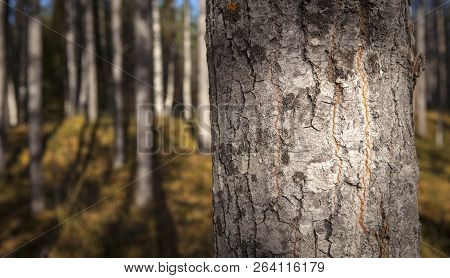 Closeup On An Aspen Trunk In Sunshine. Trunks In The Background. Autumn.