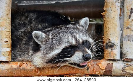 Raccoon Poloskun, Or The American Raccoon (procyon Lotor). Raccoon Can Grab And Hold Objects With Fr