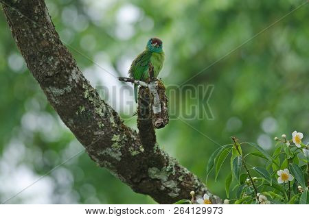 Blue-throated Barbet Perching On Tree