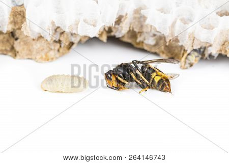Close Up Of Alive Asian Hornet Wasp Head, In Nest Honeycombed Insect Macro. Poisonous Venom Animal C