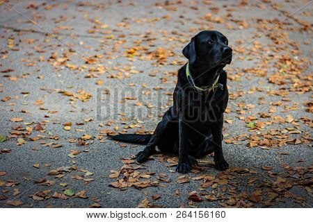 Black Labrador Retriever Sitting On The Gray Ground And Looking Right During Autumn, Dog Has Green C
