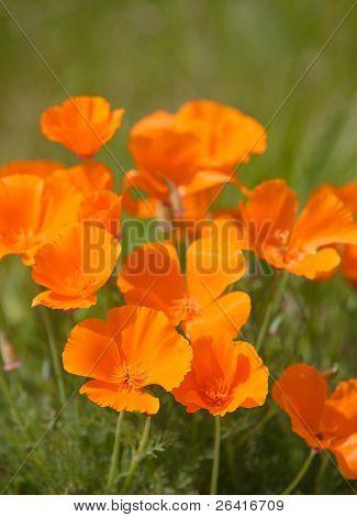 A bunch of California Poppy flowers in a field