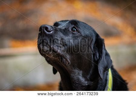 Beautiful Black Labrador Retriever Looking Forward During Autumn, Dog Has Green Collar, Orange Leave