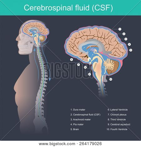 Cerebrospinal Fluid (csf) It Protects The Brain And Spinal Cord From Impact, Eliminates Waste From T