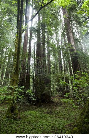 Muir Woods Redwoods National Park