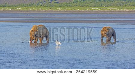 Submissive Bear Approaching A Dominant Female In Hallo Bay In Katmai National Park In Alaska