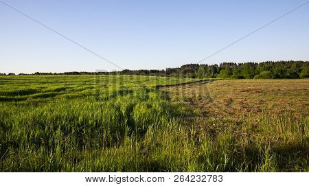 Mixed Deciduous And Coniferous Forest Growing Near The Grass On The Field, Part Of Grass Is Beveled