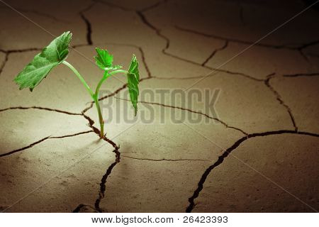 sprout vine in droughty ground