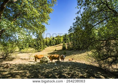 Cattle Grazing On A Hillside In The Summer With Green Trees In The Background