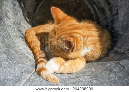 Kitten In Orange Color Sleeping Outdoors In A Metal Barrel In The Summer