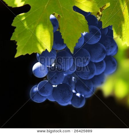 grapes vine