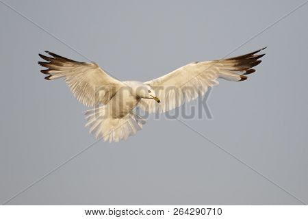 Ring-billed Gull (larus Delawarensis) Hovering Over A Lake Huron Beach - Ontario, Canada