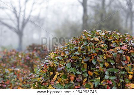 View Of Autumn Park With Shiny Cotoneaster