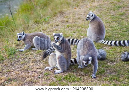 Lemurs In The Zoo.a Group Of Ring Tailed Lemur Monkeys