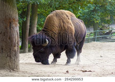 Big Brown Bison With Horns. Animal Portrait Of Big Bison In Zoo