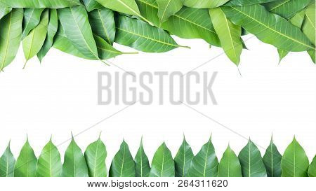 Leaves  Mango On White Background, Clipping Path