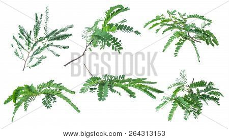 Tamarind Leaves Isolated On White Background With Clipping Path..