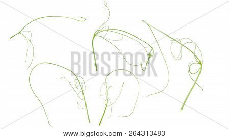 Green Ivy Plant  Isolated On Gray Background, Clipping Path