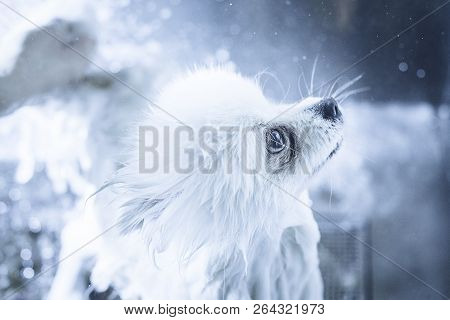 Portrait Of A Wet Dog. Pomeranian Dog In The Bathroom In The Beauty Salon For Dogs. Toned Image. The