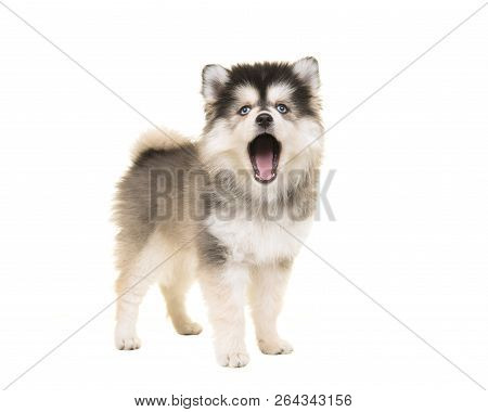 Cute Standing Mini Husky Pomsky Puppy With Open Mouth As Speaking Or Singing With Blue Eyes Isolated