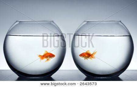photo of two Goldfish falling in love poster