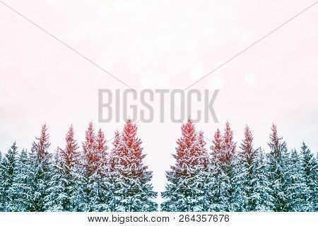 Frozen Winter Forest With Snow Covered Trees. Coniferous Branch.