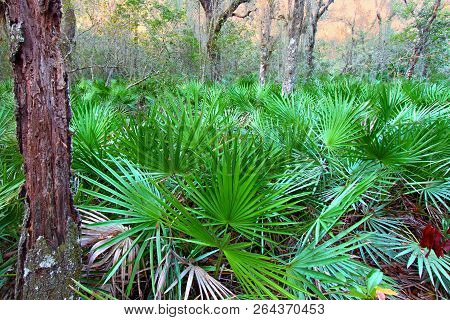 Saw Palmetto Growing Throughout The Landscape Of Central Florida