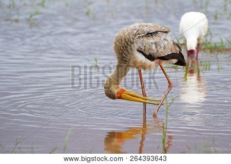 African wading stork, Yellow billed stork juvenile (Wood stork, Wood ibis) foraging for fish in water. Leaving bills open, wait to snap up preys at Lake Manyara, Tanzania, East Africa (Mycteria ibis) poster