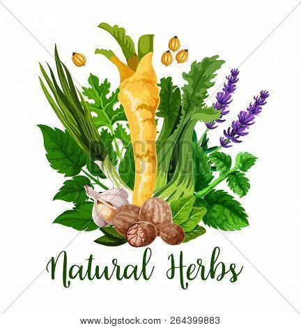 Natural Herbs And Organic Cooking Seasonings Spices, Vector. Horseradish, Lavender Flavoring Or Garl