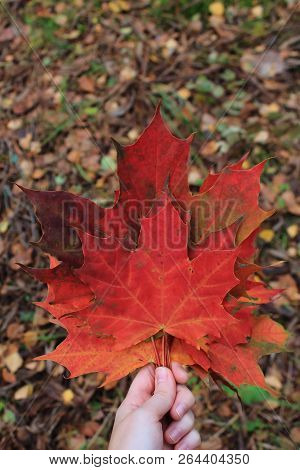 Bouquet of autumn maple leaves in hand. Orange fallen leaves. Autumn bouquet. Leaves in hands. Beautiful yellow maple leaves. The dry fallen autumn leaves. Red maple leaves on the road