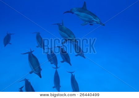 School of spinner dolphins with copy space for your text.