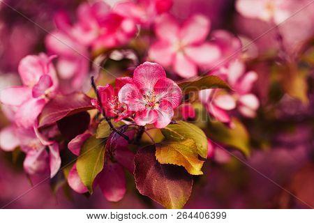 Photo Of Apple Blossom. Spring, Sunshine, Happiness.