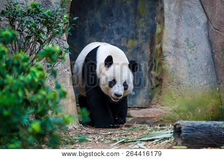 Smiling Giant Panda Walking Among Green Plants And Trees In The Zoo