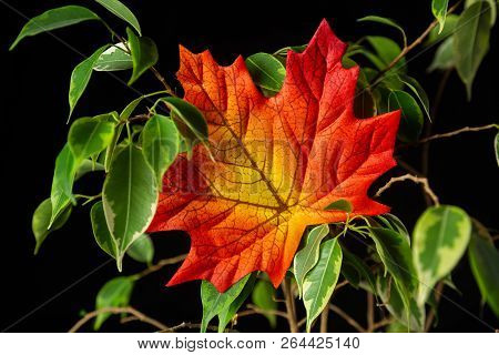 Leaf And Foliage - Leafes In Front Of Black Background