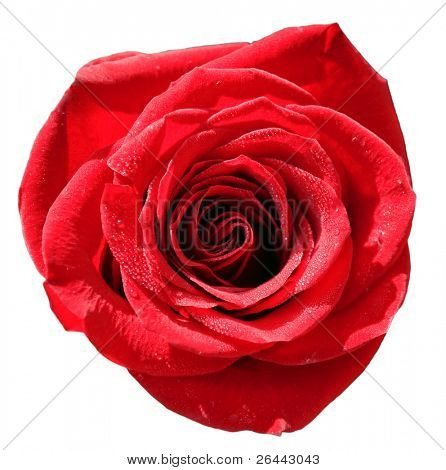 Isolated close-up image of red rose with water droplets