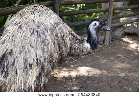 Australian Emu (dromaius Novaehollandiae) Bird Walking In Zoo Of Tenerife,canary Islands,spain.wildl