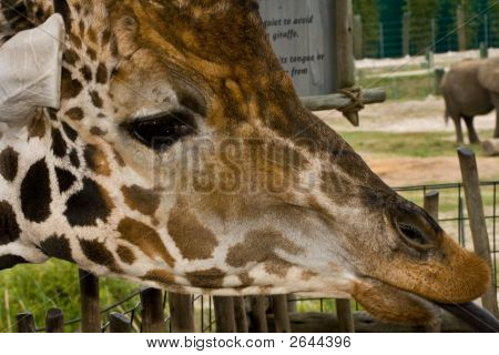Closeup of a giraffe head with tongue sticking out poster
