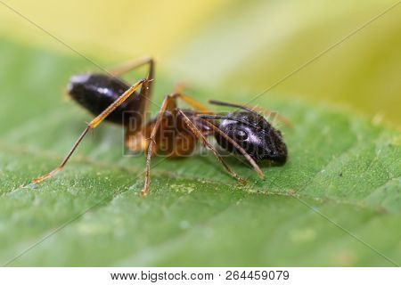Macro shot of Camponotus ant species in the Malaysian Jungle