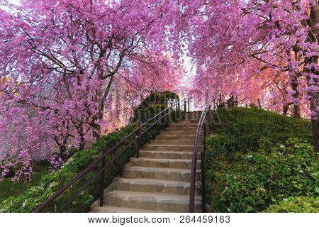Full pink cherry tree blossom in a park near Kyoto, Japan