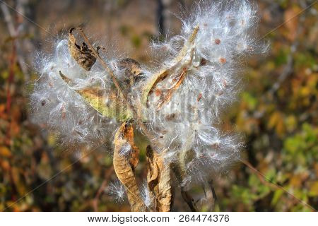 A Milkweed Plant In A State Park In Western Minnesota, The Seed Pods Have Opened.