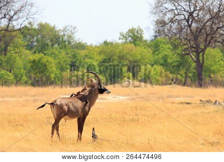 A Large Rare Roan Antelope Standing On The Dry Open African Plains With A Natural Bushveld Backgroun