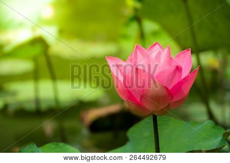 Close Up Perfect Pink Water Lily Or Lotus With Green Lotus Leaf In Natural Pond And Public Garden Wi